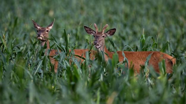 Maschio e femmina dei cervi nobili che stanno nel cereale di estate.
