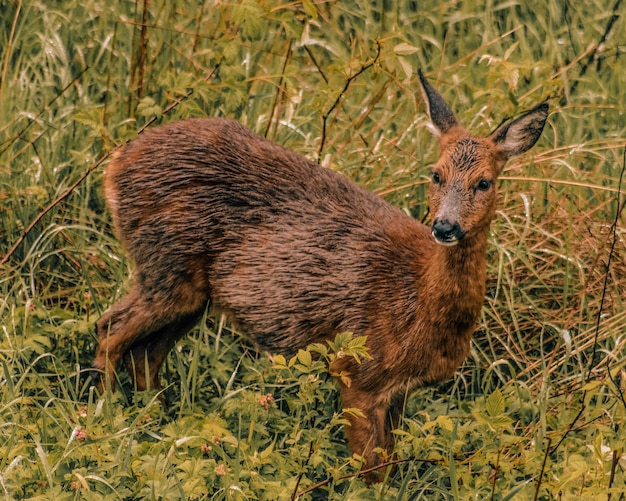 Cervo rosso stagione degli amori