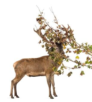Red deer cervo in rami davanti a una superficie bianca