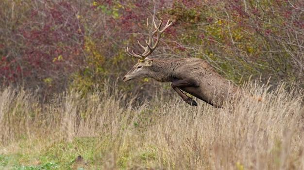 Maschio dei cervi nobili che salta nell'erba alta in autunno