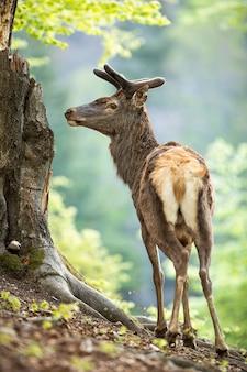 Maschio dei cervi nobili in vecchia foresta dalla vista posteriore che osserva da parte