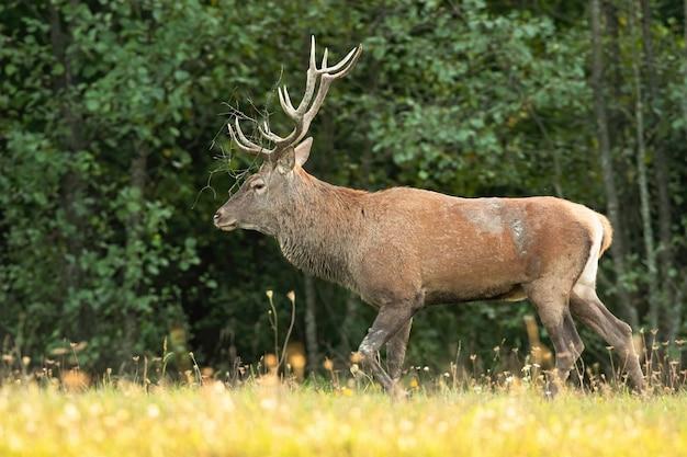 Cervo rosso con corna camminando nella natura verde dalla vista laterale