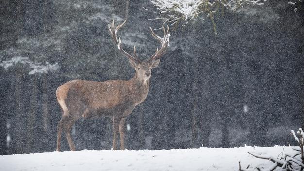 Cervo in piedi sul campo nevoso in tempesta di neve invernale