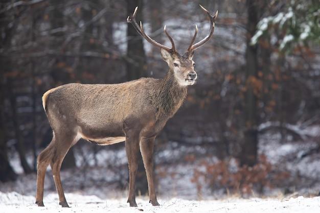 Cervo rosso in piedi nella foresta bianca nella natura invernale