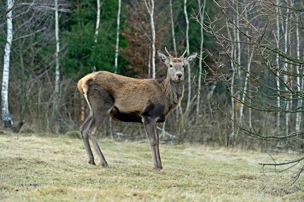 Cervo rosso nel loro habitat naturale