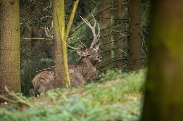 Cervi rossi con grandi corna in piedi nella foresta in autunno