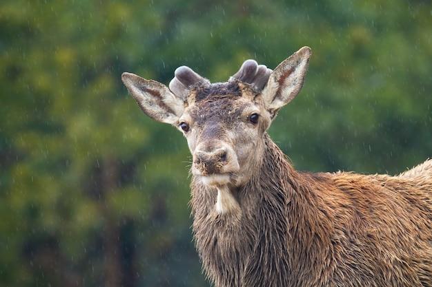 Cervo rosso con corna crescenti nella foresta in primavera Foto Premium