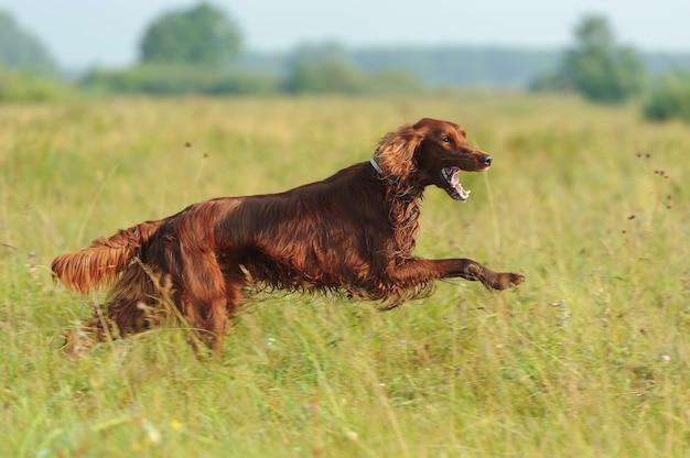 Cane rosso in esecuzione su sfondo verde erba, all'aperto, orizzontale
