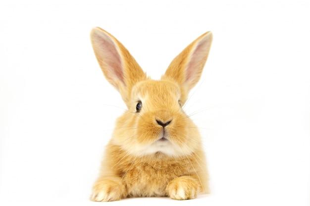 Coniglio dalle orecchie rosse su uno spazio bianco.