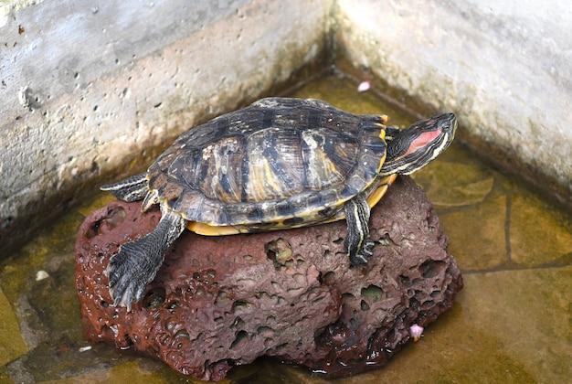 Femmina tartaruga dalle orecchie rosse su una pietra