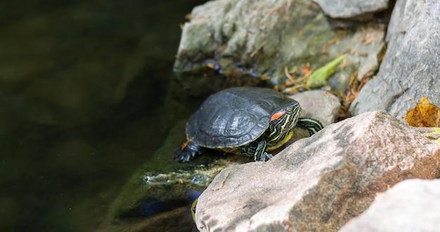 La tartaruga di cursore dalle orecchie rosse sta riposando sullo stagno