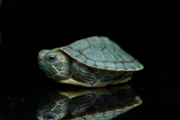 Tartaruga con le orecchie rosse del cursore isolata sul nero