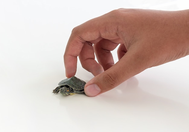 Tartaruga dalle orecchie rosse (trachemys scripta elegans) e la mano del ragazzo su uno spazio bianco. messa a fuoco selettiva. avvicinamento.