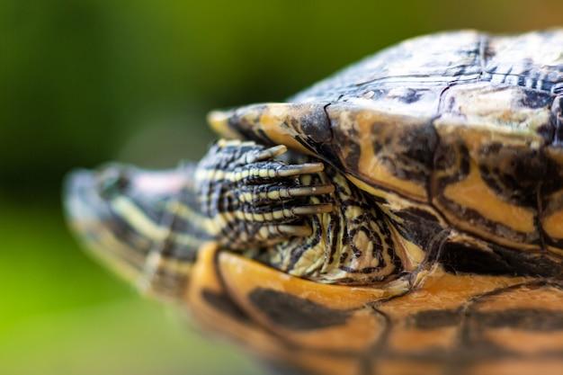 Tartaruga dalle orecchie rosse - trachemys scripta elegans. tartaruga dalle orecchie rosse del cursore alla luce solare di estate