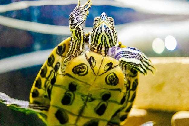 La tartaruga dalle orecchie rosse nuota nell'acqua. avvicinamento. adorabile animale domestico.