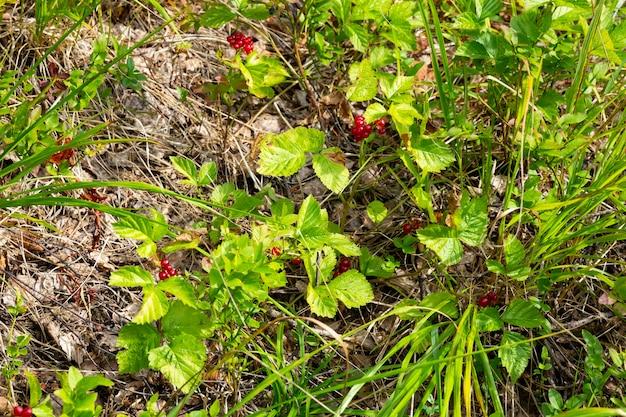 Bacche commestibili rosse nella foresta su un cespuglio, rubus saxatilis. utili frutti di bosco dal delicato gusto di melograno su un ramo