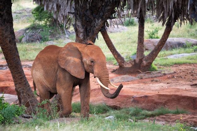 Un elefante rosso cammina tra le palme e gli alberi