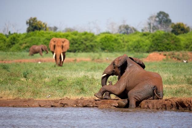 Elefanti rossi sulla pozza d'acqua nella savana del kenya