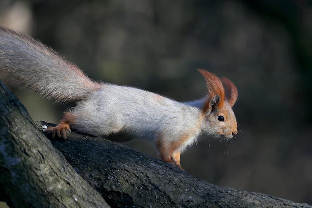 Lo scoiattolo europeo rosso si siede su un ramo inclinato