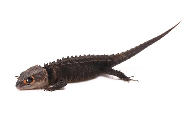 Lucertola di skinks del coccodrillo dagli occhi rossi su spazio bianco
