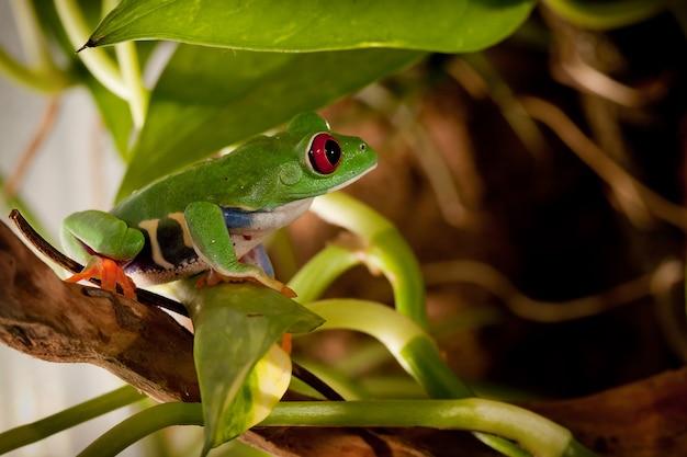 Rana dagli occhi rossi all'interno del terrario seduto su un ramo tra le piante