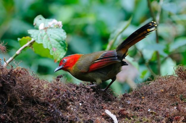 Liocichla liocichla phoenicea dalla faccia rossa bei uccelli della tailandia che si appollaiano sull'albero