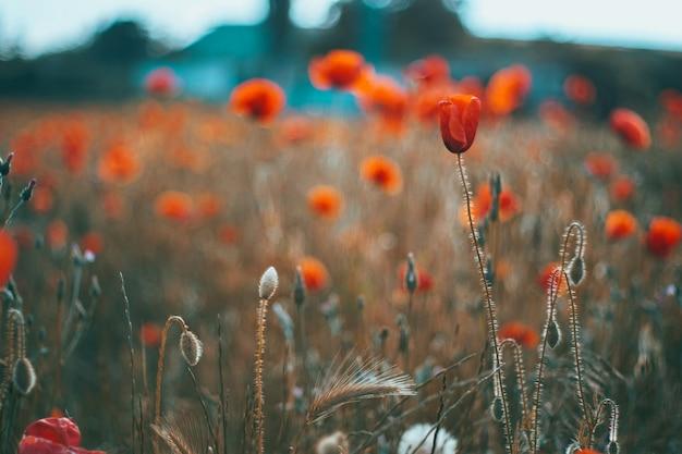 Il rosso campo di papaveri da vicino