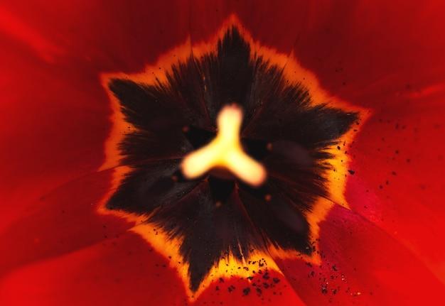 Foto macro di fiori rossi con dettagli, foto di sfondo ravvicinata di petali di petali