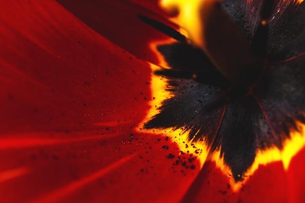 Macro foto del fiore rosso con i dettagli, petali rossi del papavero, nucleo nero, stami e primo piano del pestello, la struttura dei petali