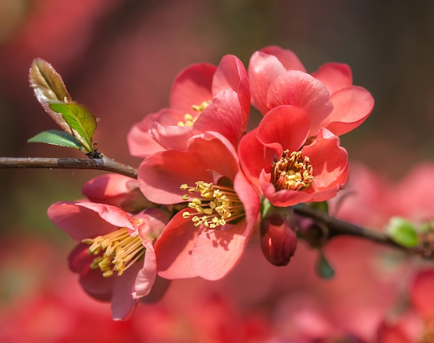 Mela cotogna fioritura rossa