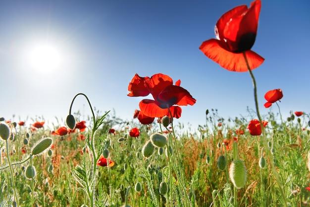 Papaveri fiori rossi sul campo verde con sole splendente