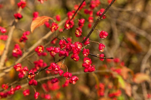 Fiori rossi con semi gialli, pianta da fiore con fiori rossi a forma di cuore con semi gialli