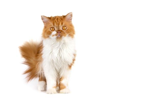 Gatto lanuginoso rosso su una parete isolata bianca.