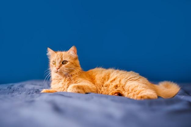 Un gatto domestico rosso e soffice giace su un letto su uno sfondo blu.