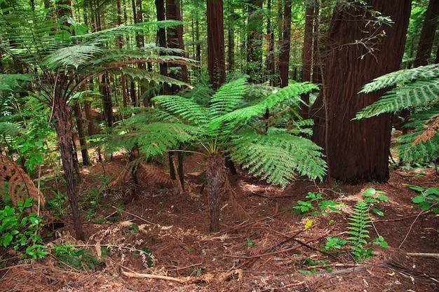 Foresta rossa a rotorua, nuova zelanda