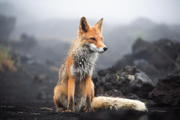 Volpe rossa da vicino. ritratto di una volpe in kamchatka