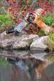 Volpe rossa e volpe incrociata che combattono con la riflessione in acqua