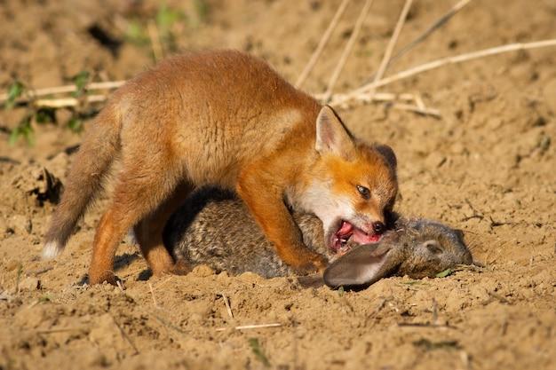 Cucciolo di volpe rossa che si nutre di coniglio morto sdraiato a terra vicino alla sua tana.