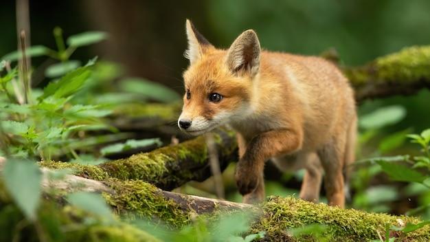 Cucciolo di volpe rossa che cammina attraverso la foresta di primavera con rami coperti di muschio sul terreno.