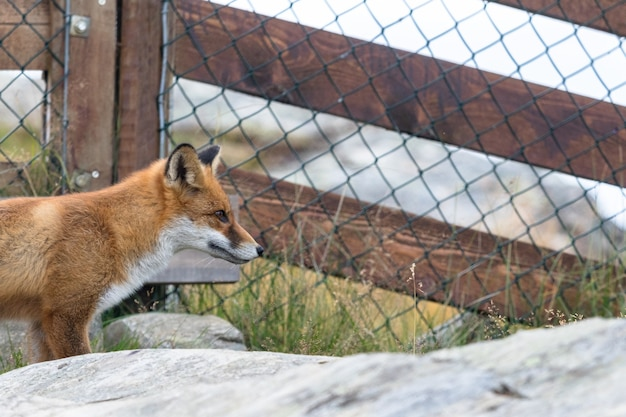 Red fox davanti alla recinzione in rete