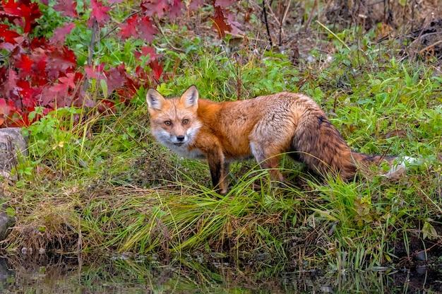 Red fox sul litorale in autunno