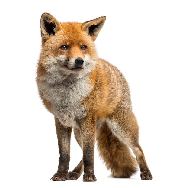 Vulpes di vulpes della volpe rossa che stanno isolati su bianco