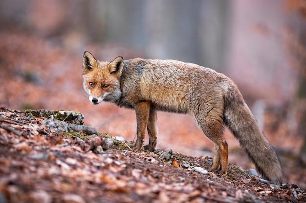 Volpe rossa che vaga e che caccia nella foresta di autunno