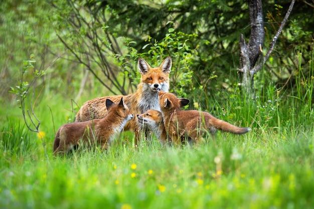 Volpe rossa con i suoi tre cuccioli che giocano sulla radura della foresta in primavera
