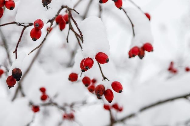 Rosa canina congelata rossa con neve in inverno. stagione della natura