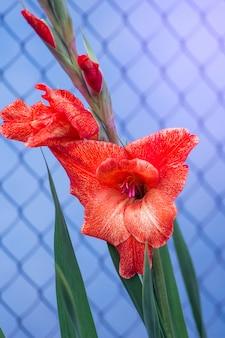 Gladiolo rosso su sfondo blu vicino al recinto
