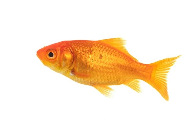 Pesce rosso rosso davanti a sfondo bianco