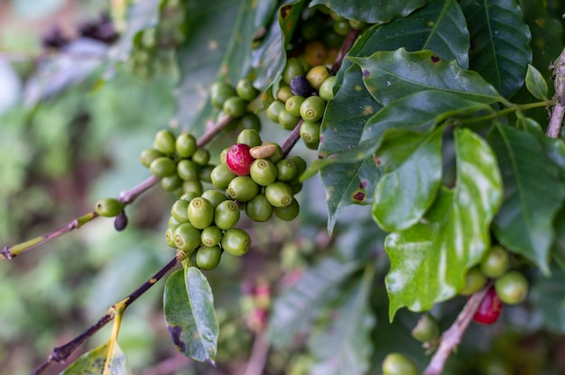 Fagioli rossi e verdi di caffè sull'albero a phahee, chiang rai, thailandia