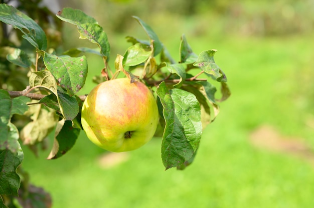 Mela matura verde rossa della frutta su un ramo di un melo nel giardino