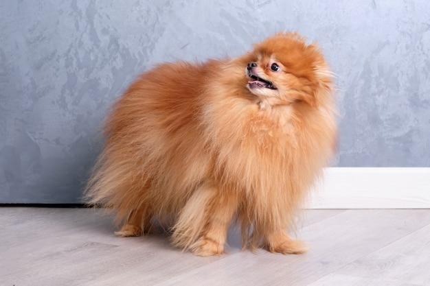 Un pomerania dai capelli rossi dopo la toelettatura mostra il suo taglio di capelli su un muro grigio.